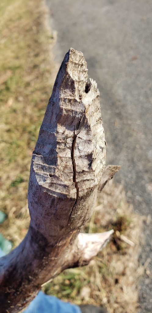 a stick with beaver teeth markings